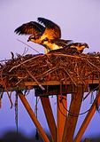 Osprey Fledglings At Dawn