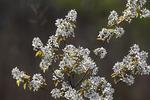 Flowering shadbush blossoms in April