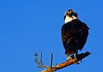 Osprey Portrait In Early Light