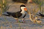 Black Skimmer Feeds Chicks On Nesting Grounds In Late Light