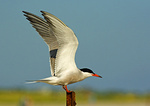 Common Tern Landing On Post