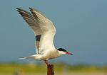 Common Tern Landing On Post