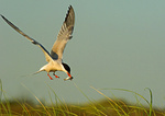 Common Tern With Fish Hovering Above Nest