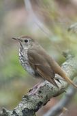 Swainson's thrush during spring songbird migration