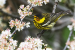 Cape May warbler foraging among beach plum blossoms