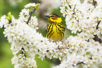 Cape May warbler perched in beach plum blossoms