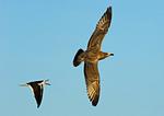 Black Skimmer Chasing Predatory Juvenile Gull Away From Skimmer Nesting Territory