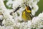 Cape May warbler in spring warbler migration
