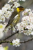 Cape May warbler feeding on beach plum nectar during spring migration