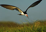 Black Skimmer With Fish Returning To Nesting Grounds