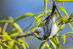 Northern parula foraging in willow oak during spring migration