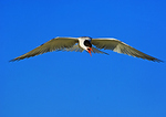 Common Tern Calling; Hovering