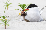 Common tern with chick in late June