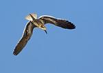 Juvenile Black Skimmer Learning To Fly