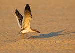 Juvenile Black Skimmer Wingstretch