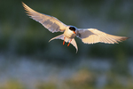 Common tern hovering above nesting grounds in late June