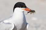 Common tern up close with cricket prey
