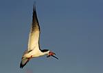 Black Skimmer Flight Carrying Stick