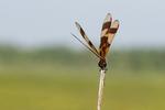 Halloween pennant dragonfly in late July marsh habitat