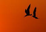 Skimmer Alltercation In Sunset Red Sky