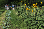 Sunflowers and tractor at Queens County farm museum