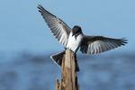 Eastern kingbird landing on perch during fall migration