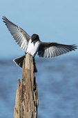 Eastern kingbird landing on perch in early fall migration