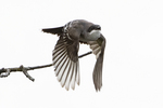 Eastern kingbird flight in early September