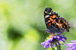 American lady butterfly on New England aster
