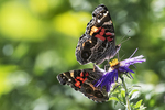 Two American lady butterflies in late summer