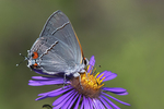 Gray hairstreak butterfly on New England aster