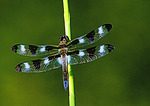 Twelve Spotted Skimmer Close View