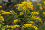 Close-up of seaside goldenrod in early October