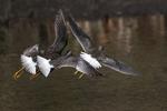 Greater yellowlegs in autumn flight