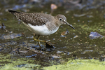 Solitary sandpiper foraging in early October