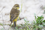 Palm warbler during mid-October fall migration