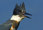Belted Kingfisher Rattling Close-Up
