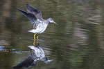 Greater yellowlegs and reflection