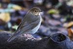 Swainson's thrush during autumn migration