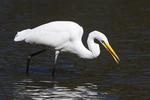 Great egret foraging on mid-October pond