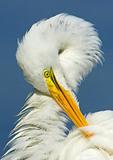 Great Egret Preening Close Up