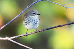 Yellow-rumped warbler during autumn migration