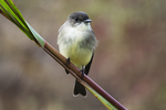 Eastern phoebe during autumn migration