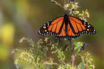 Migrating monarch butterfly in late October fall migration