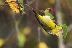 Nashville warbler during fall migration