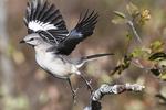 Northern mockingbird flight in autumn landscape