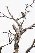Perched peregrine falcon in late November
