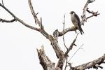 Peregrine falcon in late November