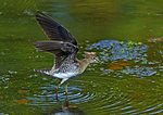 Solitary Sandpiper With Raised Wings