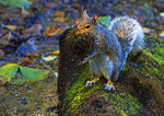 Eastern Gray Squirrel Collecting Moss To Line Nest